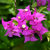 Purple and Blue Hawaiian Flowers - Bougainvillea spp. – Bougainvillea