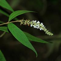 White Hawaiian Flowers - Buddleja asiatica – Dogtail