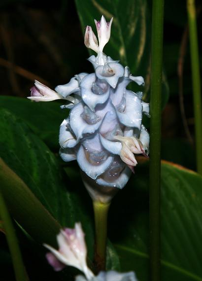 Bougainvillea Purple And Blue Hawaiian Flowers