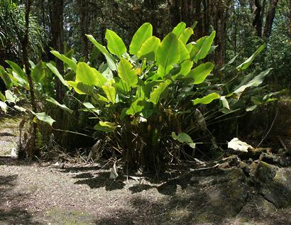 Calathea crotalifera - Rattlesnake Plant, Rattle Shaker, Rattlesnake Ginger, Yellow Rattleshaker