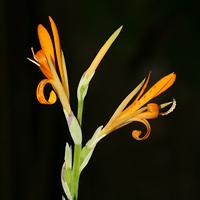 Orange Hawaiian Flowers - Canna indica – Indian Shot