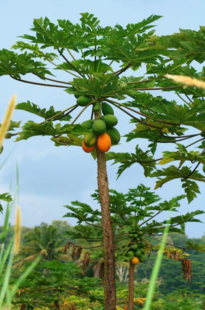 Carica papaya - Papaya, Pawpaw