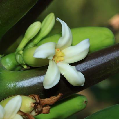 Carica papaya - Papaya, Pawpaw (flower)