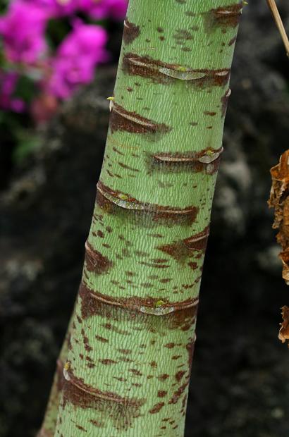Carica papaya - Papaya, Pawpaw (young stem)