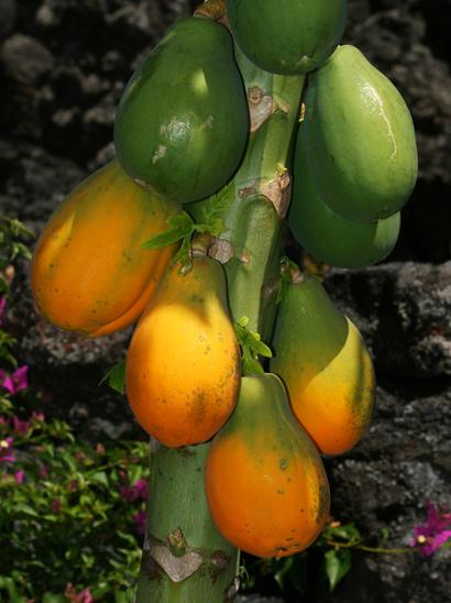 Carica papaya - Papaya, Pawpaw (fruit)