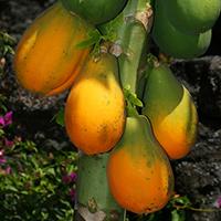 Hawaiian Fruit or Cones - Carica papaya – Papaya