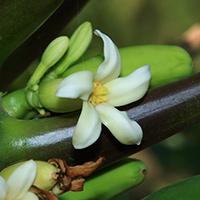 White Hawaiian Flowers - Carica papaya – Papaya