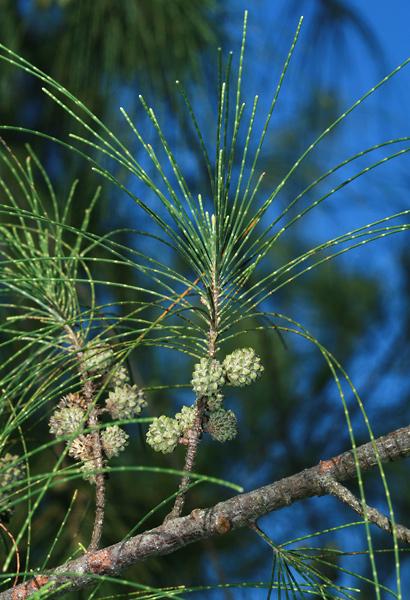 Casuarina equisetifolia - Common Ironwood, Beach Sheoak, Horsetail Casuarina, Australian Pine, Australian Beefwood (cones)