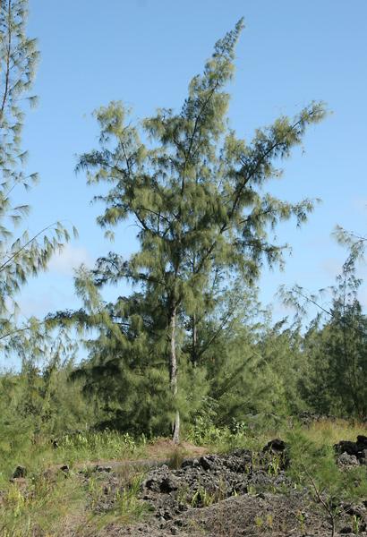 Casuarina equisetifolia - Common Ironwood, Beach Sheoak, Horsetail Casuarina, Australian Pine, Australian Beefwood