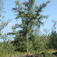 Inconspicuous Hawaiian Flowers - Casuarina equisetifolia – Common Ironwood