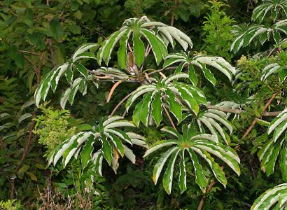 Cecropia obtusifolia - Trumpet Tree, Guarumo