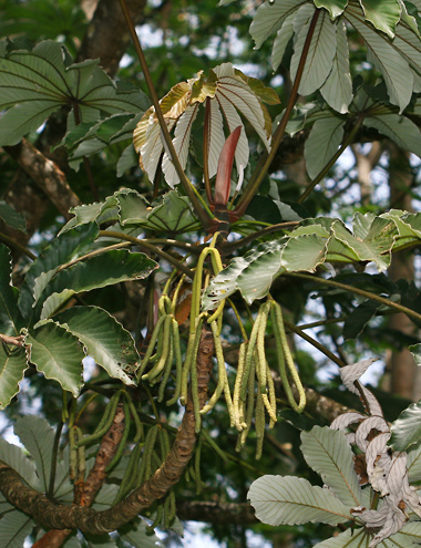 Cecropia obtusifolia - Trumpet Tree, Guarumo