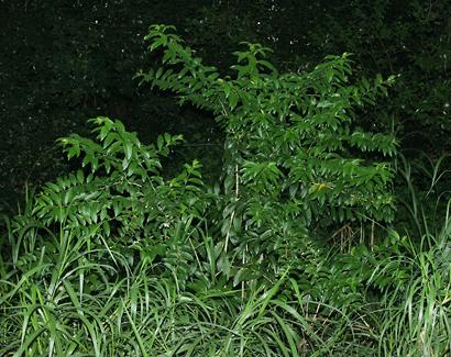 Cestrum nocturnum - Night-blooming Jasmine, Night Jessamine, Night Cestrum, Night Jasmine, Night-scented Jessamine, Night-flowering Cestrum, Queen of the Night, Lady of the Night