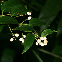 Hawaiian Fruit or Cones - Cestrum nocturnum – Night-blooming Jasmine