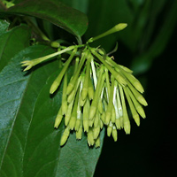 Green Hawaiian Flowers - Cestrum nocturnum – Night-blooming Jasmine