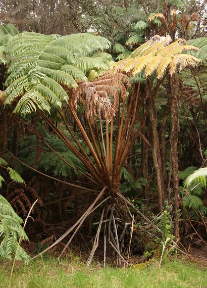 Cibotium sp. - Hapu'u, Hawaiian Tree Fern, Manfern