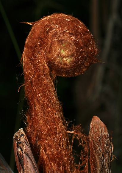 Cibotium sp. - Hapu'u, Hawaiian Tree Fern, Manfern (hairy fiddlehead)
