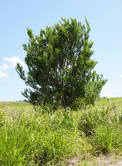 Citharexylum caudatum - Juniper Berry, Fiddlewood