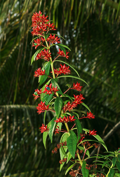 Clerodendrum indicum - Turk's Turban, Turk's Turbin, Tubeflower (fruit)