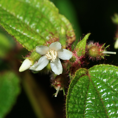 Clidemia hirta - Koster's Curse, Soapbush, Soap Bush, Clidemia (flower)