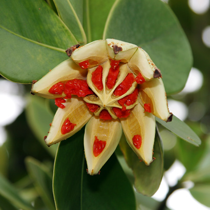 Clusia rosea - Autograph Tree, Scotch Attorney, Copey, Pitch Apple, Florida Clusia, Signature Tree (open fruit and seeds)