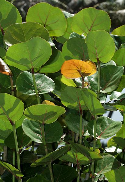 Coccoloba uvifera - Sea Grape, Seagrape (leaves)