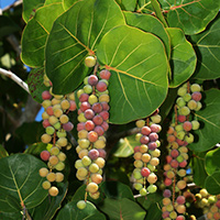 Hawaiian Fruit or Cones - Coccoloba uvifera – Sea Grape