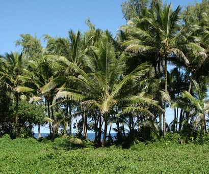 Cocos nucifera - Coconut Palm, Niu