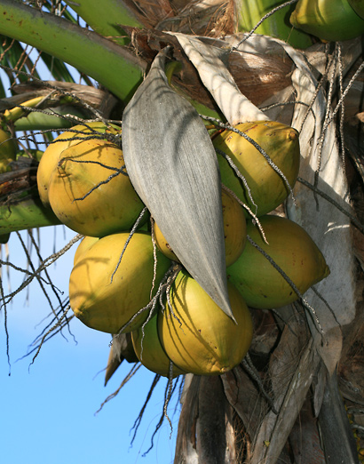 Cocos nucifera - Coconut Palm, Niu (fruit)