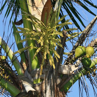 Cocos nucifera - Coconut Palm, Niu (flowers)