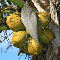 Hawaiian Fruit or Cones - Cocos nucifera – Coconut Palm