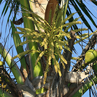 Green Hawaiian Flowers - Cocos nucifera – Coconut Palm