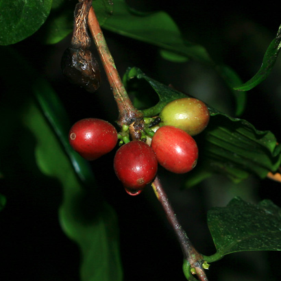 Coffea arabica - Coffee, Arabian Coffee, Arabica Coffee, Kona Coffee (fruit)