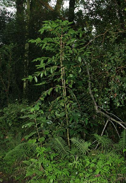 Coffea arabica - Coffee, Arabian Coffee, Arabica Coffee, Kona Coffee (wild-growing plant)