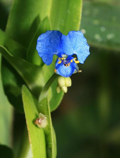 purple and blue hawaiian flowers commelina diffusa climbing dayflower
