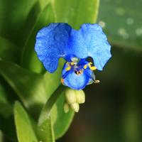 Purple and Blue Hawaiian Flowers - Commelina diffusa – Climbing Dayflower
