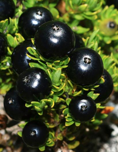 Coprosma ernodeoides - 'Aiakanene, Kukaenene, Punene, Black-fruited Coprosma, Nene Berry, Nene Bush (fruit)