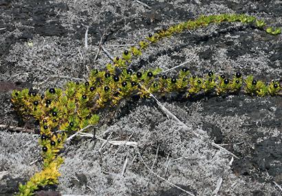 Coprosma ernodeoides - 'Aiakanene, Kukaenene, Punene, Black-fruited Coprosma, Nene Berry, Nene Bush