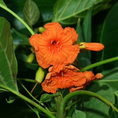 Cordia subcordata - Kou (flower)