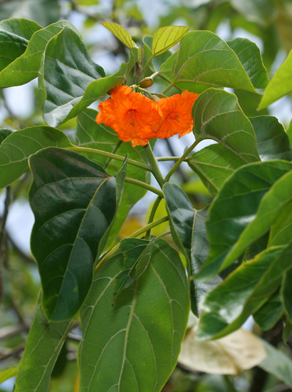 Cordia subcordata - Kou (flowers and leaves)
