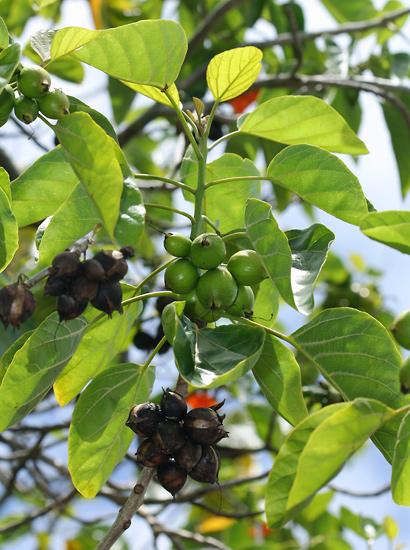 Cordia subcordata - Kou (ripe and unripe fruit)