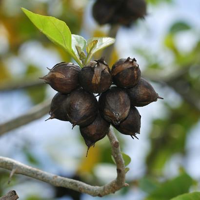 Cordia subcordata - Kou (ripe fruit)