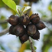 Hawaiian Fruit or Cones - Cordia subcordata – Kou