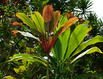 Cordyline fruticosa - Ti, Tiplant, Ti Plant, Ki, Hawaiian Good Luck Plant