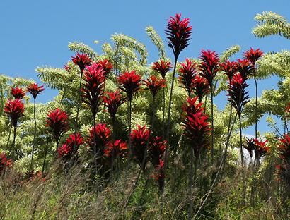 Cordyline fruticosa - Ti, Tiplant, Ti Plant, Ki, Hawaiian Good Luck Plant (red leaves)