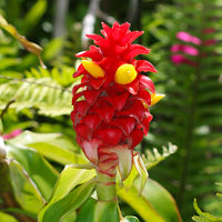 Exotic Tropical Flowers - Costus comosus – Red Tower Ginger