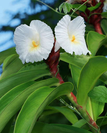 Costus speciosus - Crepe Ginger, Canereed, Crape Ginger, Malay Ginger (flowers)
