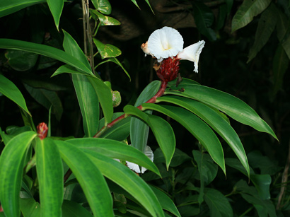 Costus speciosus - Crepe Ginger, Canereed, Crape Ginger, Malay Ginger
