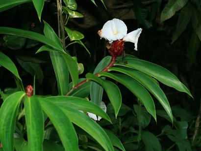 Costus speciosus - Crepe Ginger, Canereed, Crape Ginger, Malay Ginger