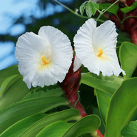 White Hawaiian Flowers - Costus speciosus – Crepe Ginger